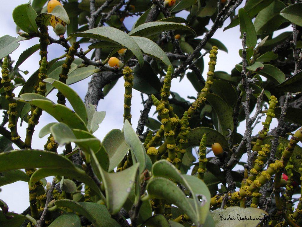 Hulumoa (Hawaiian mistletoe) on Lama