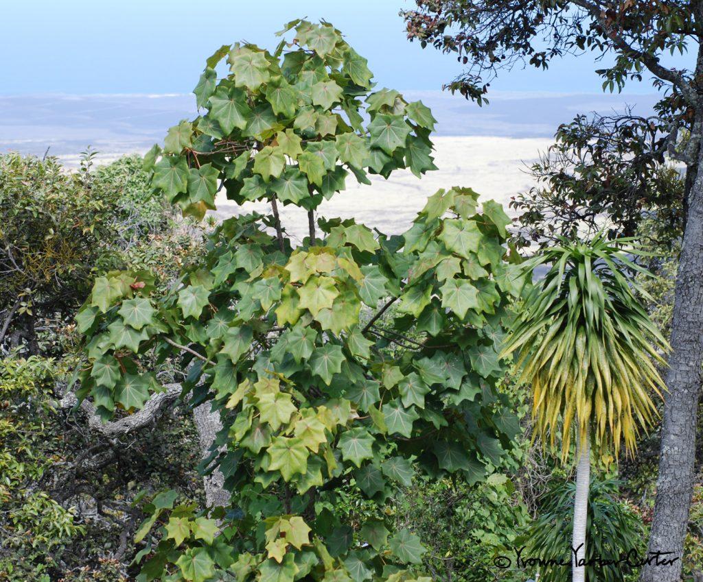 Native Dryland Trees and their Flowers - Hau heleula, Halapepe, and Lama