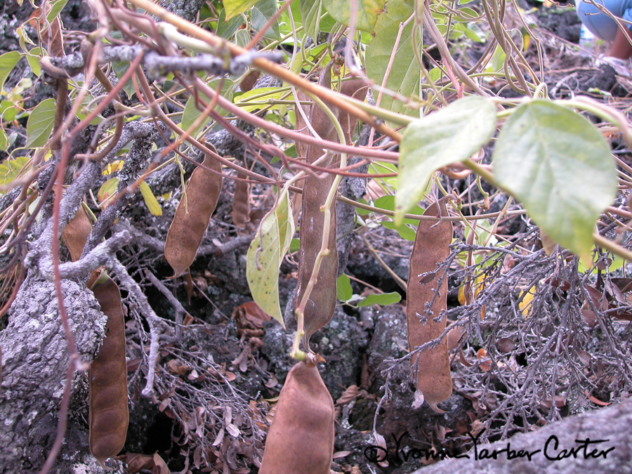 Native Vines - Awikiwiki vine & ripe seed pods
