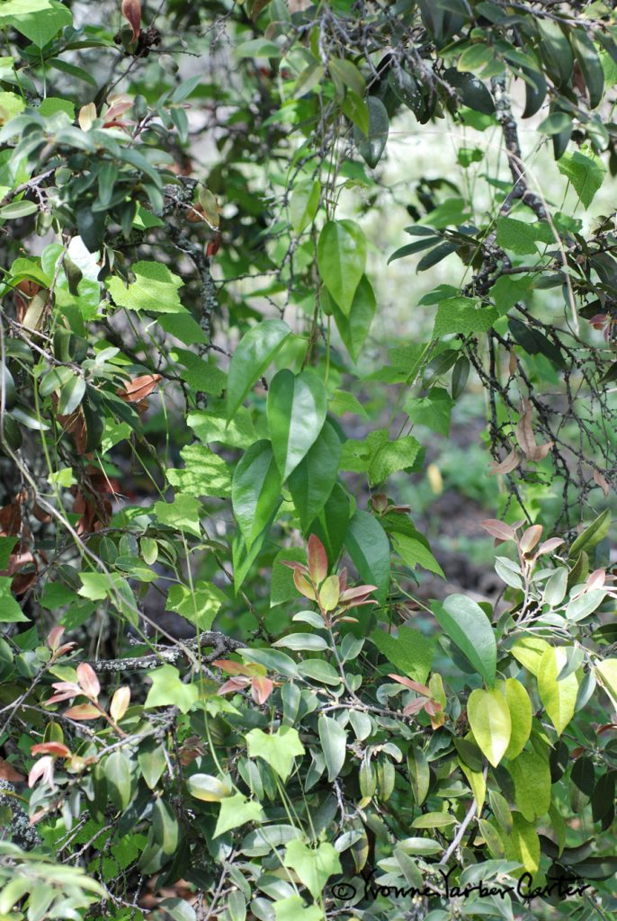 Native Vines - Mixed wild vines in Lama forest