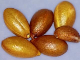 Diospyros sandwicensis seed