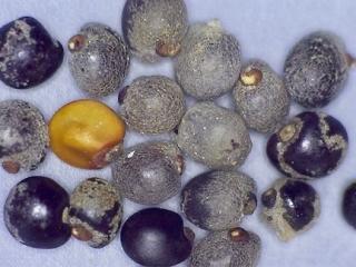 Dodonaea viscosa seed