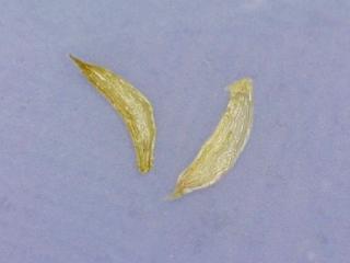 Metrosideros polymorpha seed
