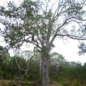 Metrosideros polymorpha tree