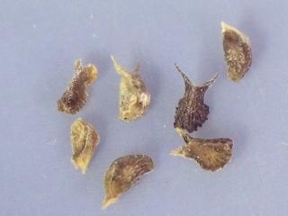 Sida fallax seed