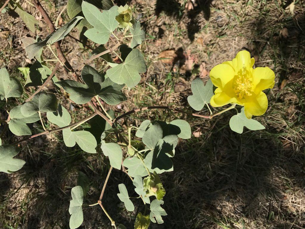 Gossypium tomentosum plant