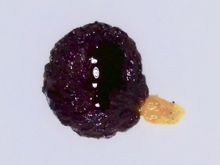 Pittosporum hosmeri seed