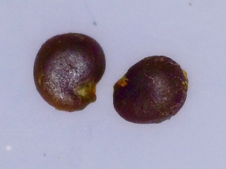 Capparis sandwiciana seeds
