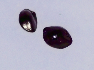 Dianella sandwicensis seeds