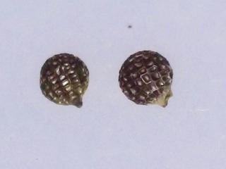 Argemone glauca seed