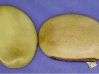 Canavalia hawaiiensis seed