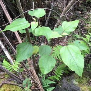 Pipturus albidus