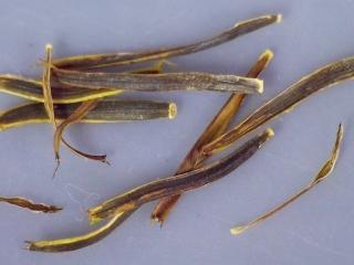 Bidens micrantha seed