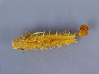 Plumbago zeylanica seed