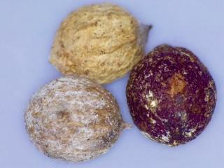 Santalum paniculatum seed