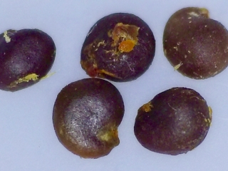 Capparis sandwiciana seeds