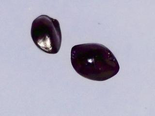 Dianella sandwicensis seeds